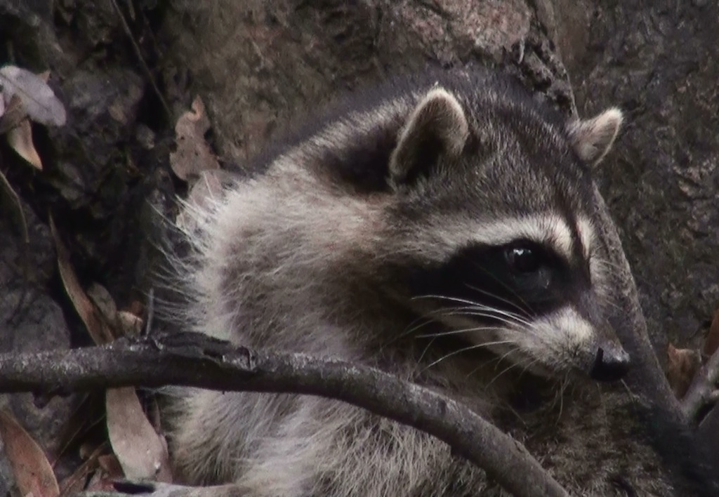 3-20121214-Raccoon-12-T